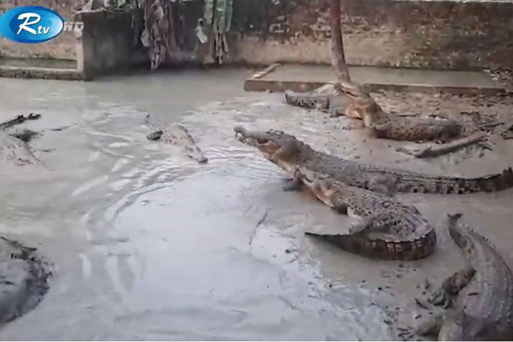 Success in commercial crocodile farming in Bhaluka,