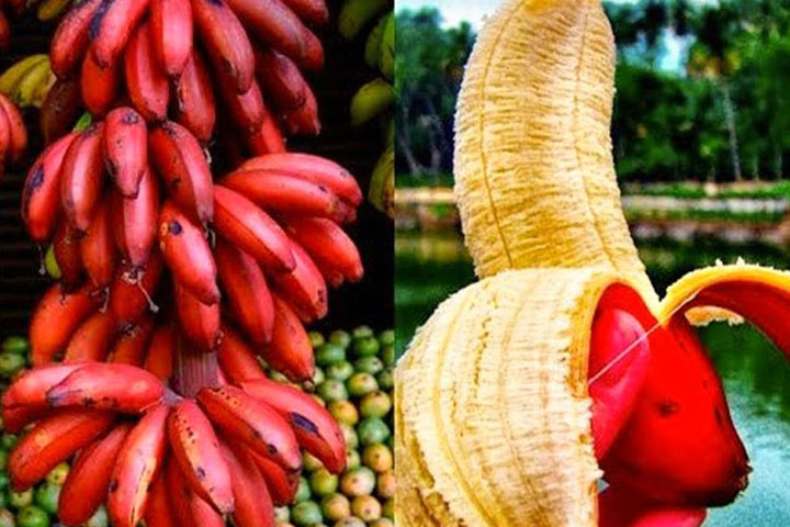 Red bananas contain solutions to difficult diseases
