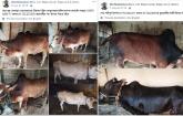 Online sacrificial animal market launched Hili