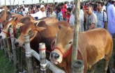 Gazipur temporary market for online sacrificial animals